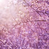 Beautiful tender cherry tree blossom in morning purple sun light, floral background, spring blooming flowers