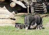 Pigs At Farm