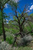 picture of cottonwood  - Vertical shot of cottonwoods near rio grande river - JPG