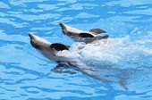 foto of bottlenose dolphin  - Three Bottlenose Dolphins Swimming in formation - JPG