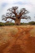 Baobab tree in bushveld