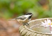 picture of chickadee  - Photograph of a tiny Black - JPG