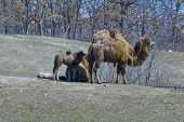 Bactrian Camels And Offspring