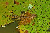 Kaiman auf eine Lilly Pad In einem Regen Wald Teich