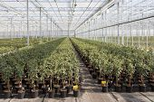 Cultivating Fuchsia Plants In A Dutch Greenhouse