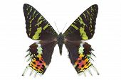 Butterfly Madagascan Sunset Moth Isolated