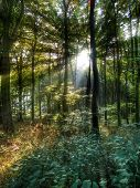 Sun Rays In The Forest