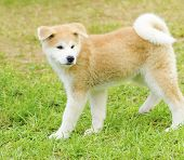 foto of akita-inu  - A profile view of a young beautiful white and red Akita Inu puppy dog standing on the lawn - JPG