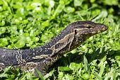 Monitor Lizard, Thailand.