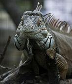 Green Iguana Frontal View