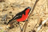 Crimson Breasted Shrike - Colorful Wild Bird Background from Africa - Curious Beauty