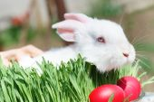 picture of thumper  - Very Cute Easter Bunny Peeking Through the Grass - JPG