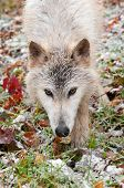 Blonde Wolf (Canis Lupus) Close Up Prowl