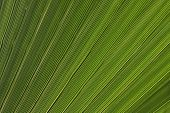 Palm Tree Leaves Texture