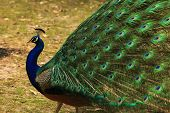Peacock with Full Plumage Open and Colorful