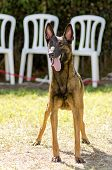 stock photo of belgian shepherd dogs  - A young beautiful black and mahogany Belgian Shepherd Dog standing on the lawn sticking its tongue out - JPG