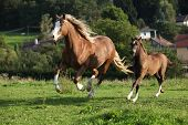 Mare With Foal Running