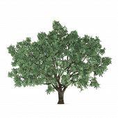 Tree isolated. Salix fragilis