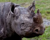 picture of wallow  - Black Rhino