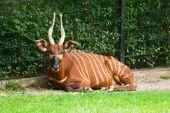Striped Antelope.