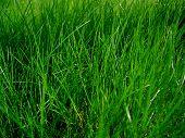 Juicy Grass