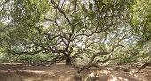 immense live oak tree with spreading branches