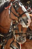 stock photo of clydesdale  - Couple of Clydesdale brown horses close portrait - JPG