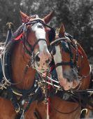 Horses Couple