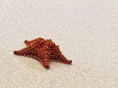 Big red starfish on a beach at Guadeloupe