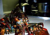 Lobster3