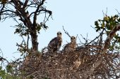 Two Baby Red Tailed Hawks