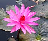 Pink Lotus In Lake
