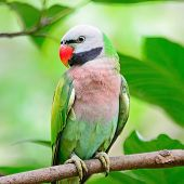 picture of parakeet  - Beautiful Parakeet bird - JPG