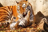 image of tiger cub  - The tiger mum in the zoo with her tiger cub  - JPG