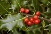 Holly Berries - Ilex aquifolium