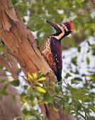 Sri Lankan red-backed woodpecker in tree