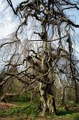 stock photo of centenarian  - Old european beech  - JPG