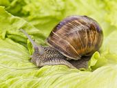 Burgundy snail eating a lettuce leaf