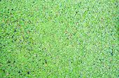 Closed Up Duckweed On Water Surface