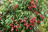 Lychees Hanging On The Tree