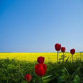 tulips and canola field