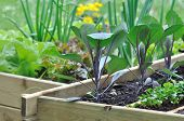 Seedlings In Vegetable Patch