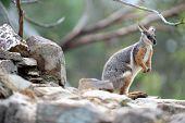 Rock Wallaby
