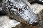 stock photo of crocodilian  - A close up shot of an American Alligator - JPG