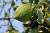 image of sukkot  - Closeup of growing citron used for jewish sukkot holiday - JPG