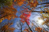Colorful autumn treetops in fall forest with blue sky and sun shining though trees. Algonquin Park,