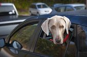 One weimaraner dog looking out of car window in parking lot