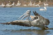 Pink-backed Pelican Rushing Forwards To Dive For Fish