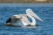 Pink-backed Pelican Swimming With Its Wing Raised