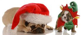 foto of christmas puppy  - santas helpers  - JPG